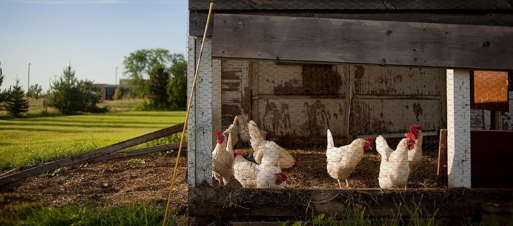 stappenplan kippenhok maken