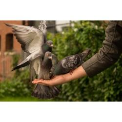 duiven houden